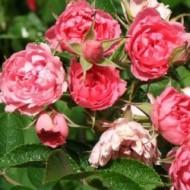 Саженец розы сорт Pink Cluster (Пинк Кластер)
