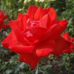 Роза Litke (Литке)