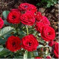 Роза Optima Red (Оптима Ред)