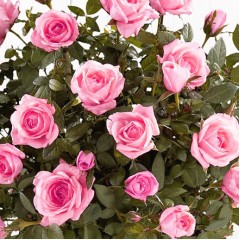 Роза Pink Fairy (Пинк Фейри)
