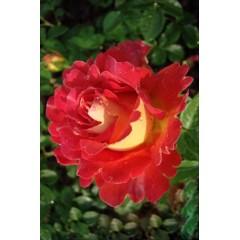 Роза Decor Arlequin (Декор Арлекин)
