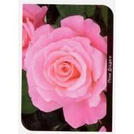 Роза Pink Diadem (Пинк Диадем)