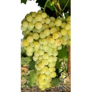 Саженец винограда сорт Восторг