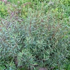 Ива пурпурная (Salix purpurea Nana)