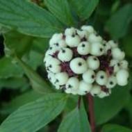 Кизил белый (Cornus alba Westonbirt)