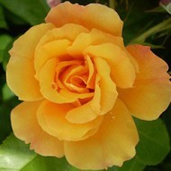Роза Konsuella (Консуелла)