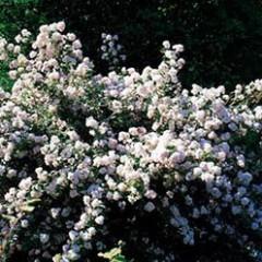 Дейция (Deutzia scabra Plena)
