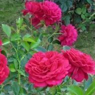 Роза Madrigal (Мадригал)