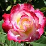 Роза Double Delight (Дабл Дилай)