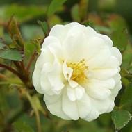 Роза морщинистая (Rosa rugosa Alba)
