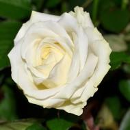 Роза Avalanсhe (Аваланж)