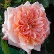 Роза English Sonette (Инглиш Сонет)