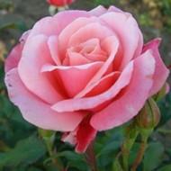 Роза Marco (Марко)