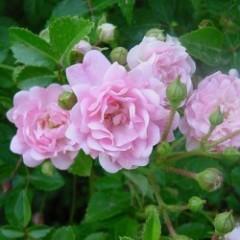 Роза штамбовая The Fairy (Зе Фейри) /50-60 см/