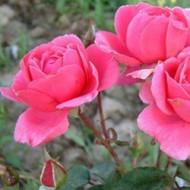 Роза Tom Tom (Том Том)