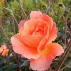 Роза Westerland (Вестерленд)