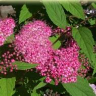 Спирея японская (Spiraea japonica Froebelii)