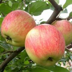 Саженец яблони осеннего сорта Чемпион