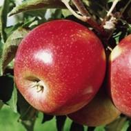 Саженец яблони зимнего сорта Джонаголд