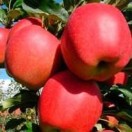 Саженец яблони зимнего сорта Гала