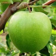 Саженец яблони зимнего сорта Грени Смит