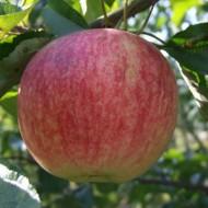 Саженец яблони осеннего сорта Слава Победителям