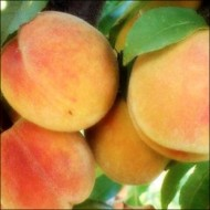 Персик Желтоплодный ранний