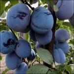 Слива Чачакская крупноплодная