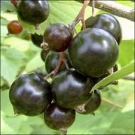 Смородина черная Белоруская сладкая