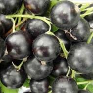 Смородина черная Софиевская