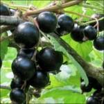 Смородина черная Черный Бумер