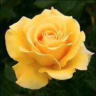 Роза Папилон