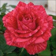Роза Ред Интернешнл