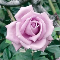 Роза Блу Мун вьющаяся