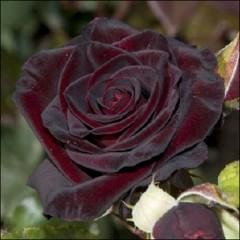 Роза Черная королева