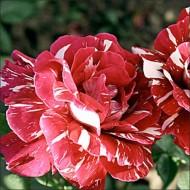 Роза Пестрая