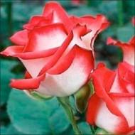 Роза Бело-красная