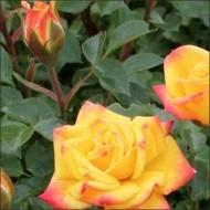 Роза Желто-красная