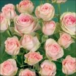 Роза Бело-розовая