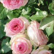 Роза Эдем