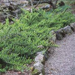 Жимолость декоративная (Lonicera pileata Moss Green)